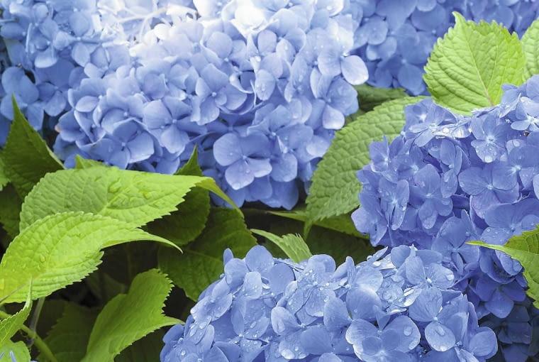 Pełni rozkwitu kwiaty hortensji ogrodowej mogą mieć niebieski kolor, jeśli podłoże jest kwaśne i dodatkowo zawiera glin.Często zdarza się, że jesienią kwiatostany nabierają odcieni purpury i fioletu.