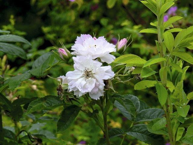 Róża pomarszczona 'Fimbriata' to szeroki krzew dorastający do wysokości 1,5m. Kwiaty mają oryginalne postrzępione płatki.