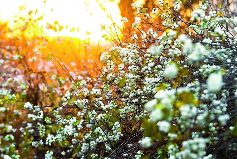Śnieguliczka biała (S. alba) należy do najbardziej wytrzymałych krzewów. Zwykle dorasta do wysokości 1,5 m. Jej kwiaty pojawiają się od czerwca do września, dzięki czemu pszczoły mogą zbierać nektar przez długi czas. Owoce są białe, ośrednicy do 1,2 cm. Roślina jest inwazyjna, bo wydaje liczne odrosty korzeniowe iw małych ogrodach trzeba co roku wycinać część jej pędów. Doskonale nadaje się na nieformowane niskie żywopłoty.