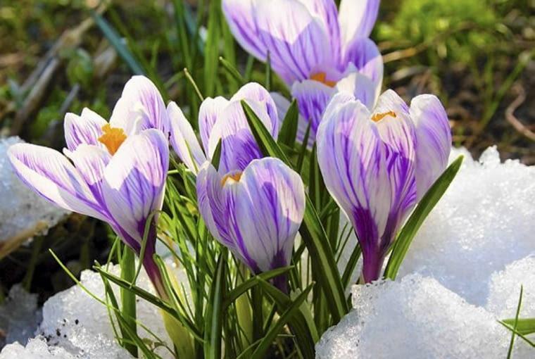 Kwiaty cebulowe. Krokusy zakwitają z pierwszym tchnieniem wiosny