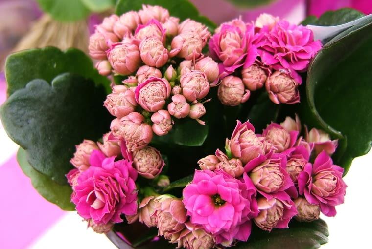 Kalanchoe blossfelda (Kalanchoe blossfeldiana) kwitnie przez wiele tygodni, a po przycięciu ponawia kwitnienie. Ustawiamy go w pełnym słońcu, rzadko podlewamy.