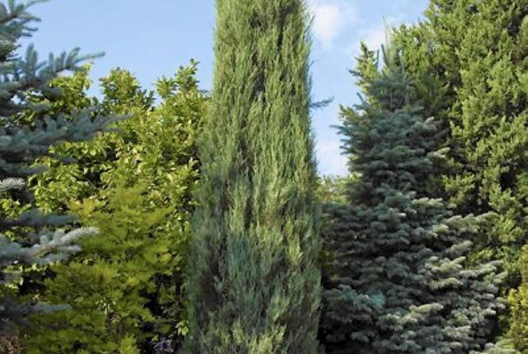 Kolumnowe iglaki (tu jałowiec skalny - Juniperus scopulorum - 'Skyrocket') już nam się opatrzyły, ale posadzone pojedynczo mogą być interesującym ogrodowym akcentem