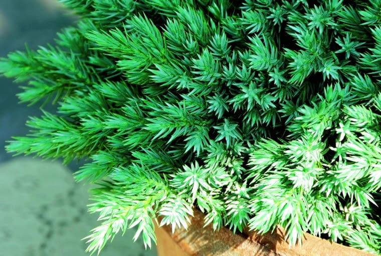 Jałowiec łuskowy (Juniperus squamata) 'Blue Star'
