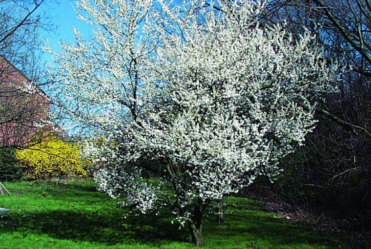 Drzewa mirabelki osiągają wysokość ok. 4 m. Ałycze są wyższe i gdy kwitną, rozwijają też listki.