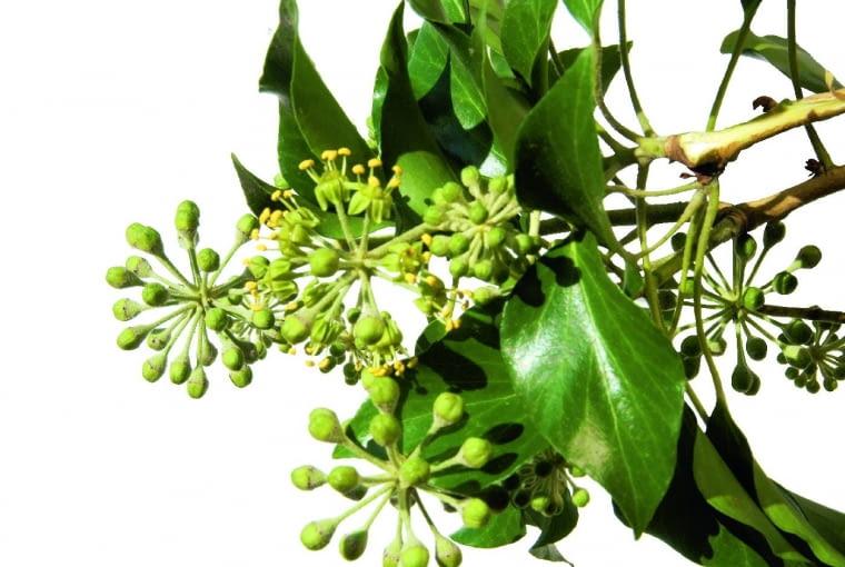Kwiaty bluszczu są miododajne - wabią owady, zwłaszcza pszczoły, trzmiele i motyle.