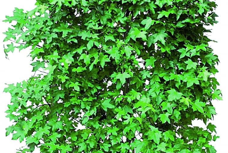 Ambrowiec balsamiczny (Liquidambar styraciflua)