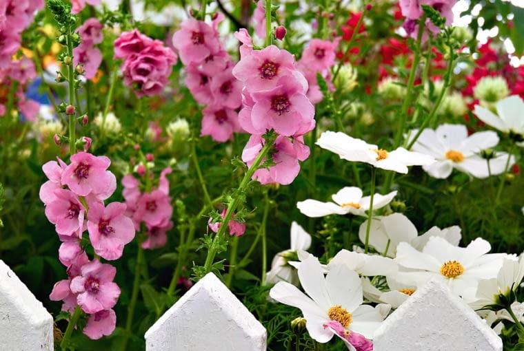 Biały kosmos zachwyca delikatnurodą kwiatów i pierzastych liści.