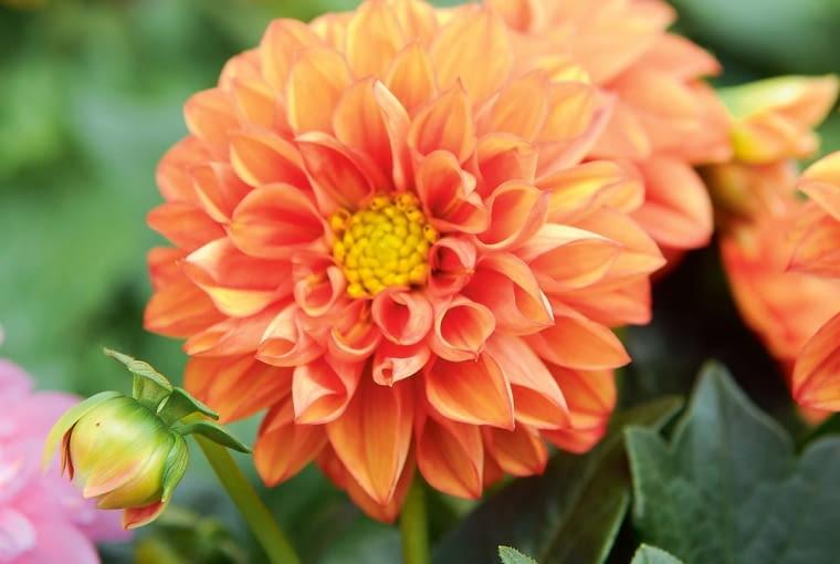 'Arizona' - dalia z serii Dahlianova, wys. 20-30 cm, śr. 'kwiatu' 7 cm.