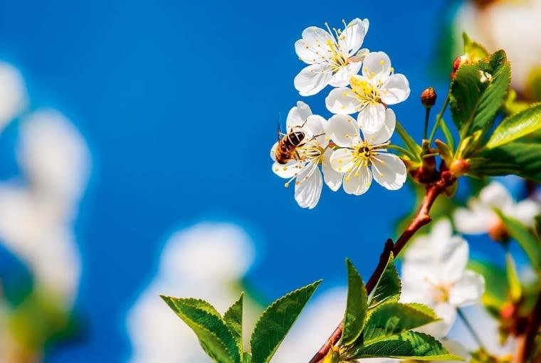 Kwitnące wiśnie oraz inne drzewa owocowe dają nektar i pyłek tylko wiosną.