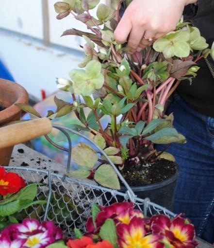 Przygotowujemy rośliny, które posadzimy w naszej wiosennej donicy. Z ciemiernika i prymulek obrywamy zeschnięte liście oraz przekwitnięte kwiatki