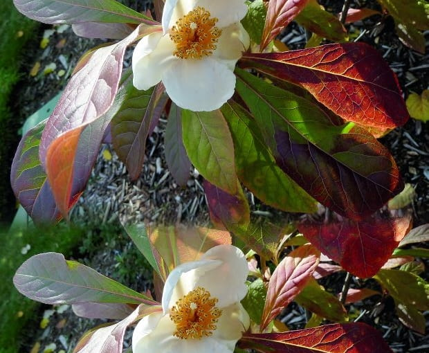 -Franklinia alatamaha, at UBC Botanical Garden