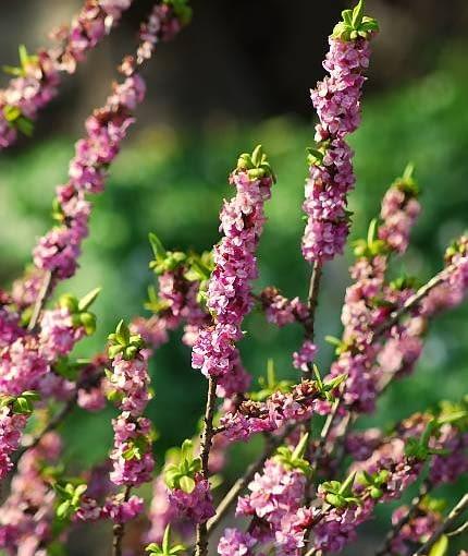 Wawrzynek wilczełyko reaguje na każde przedwiosenne ocieplenie. Kwiaty tego krzewu rozwijają się w marcu, a czasem jeszcze wcześniej.