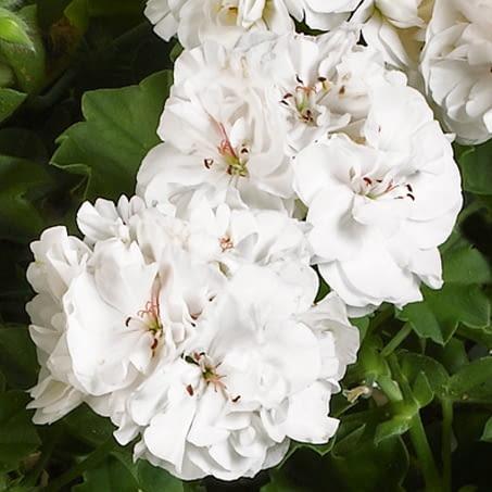 Pelargonia Rabatowa White Pearl