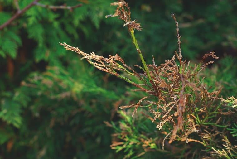 BRĄZOWIEJĄCE IGŁY oraz pędy jałowca. Przyczyna: zamieranie pędów.