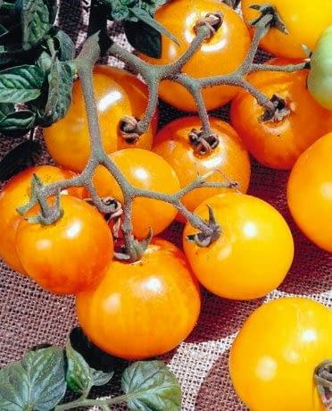 Pomidor 'Ola Polka'