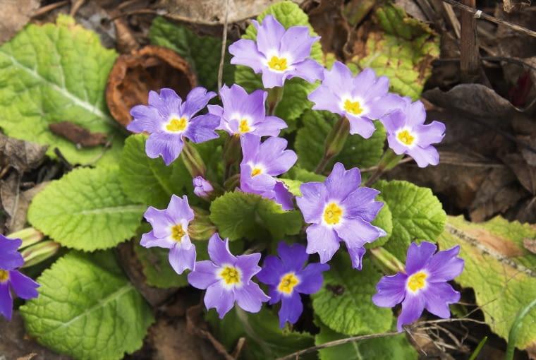 Mieszaniec pierwiosnka gruzińskiego (Primula juliae) rozwija pierwsze kwiaty w lutym.