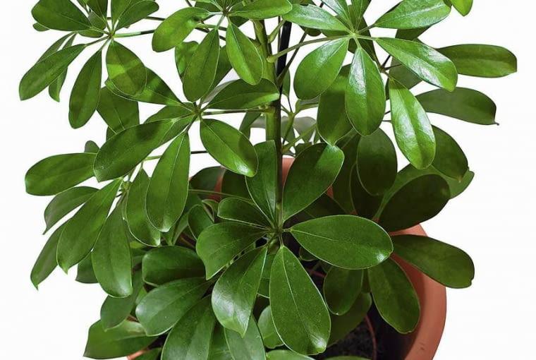 SZEFLERA (Schefflera arboricola) trudno się rozgałęzia. W widnych miejscach jest zwarta i krępa. Zwykle wymaga podpierania.
