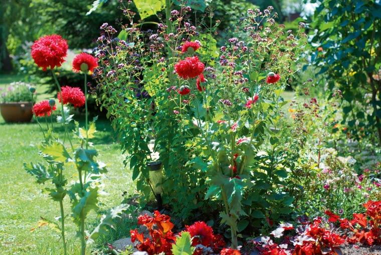Maki ilebiodka polubiły ogród iwędrują po słonecznej rabacie, wysiewając się tu itam.