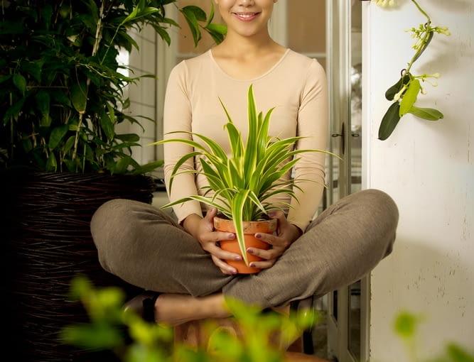 Zielistka (Chlorophytum comosum) 'Ocean' to odmiana o szerszych liściach, niż u zwykłej zielistki, ale jest to roślina łatwa w uprawie.