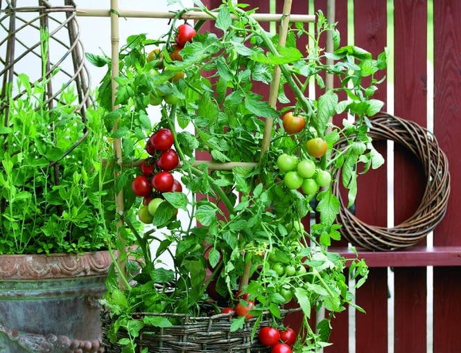 Karłowe odmiany pomidorów w pojemnikach to świetna dekoracja balkonu i pyszne owoce na wyciągnięcie ręki. Pamiętajmy o podparciu pędów