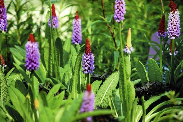 PIERWIOSNEK VIALA osiąga 40 cm wysokości. Jego kłosowate kwiatostany pojawiają się w lipcu i sierpniu.
