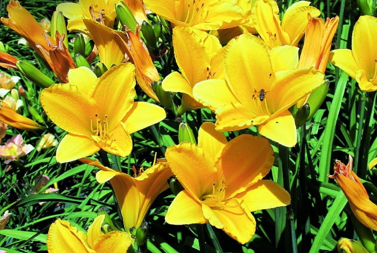 'Dorota' - odmiana wyhodowana przez brata Stefana w 1982 r. kwitnie obficie w lipcu na pędach o wysokości 80 cm.