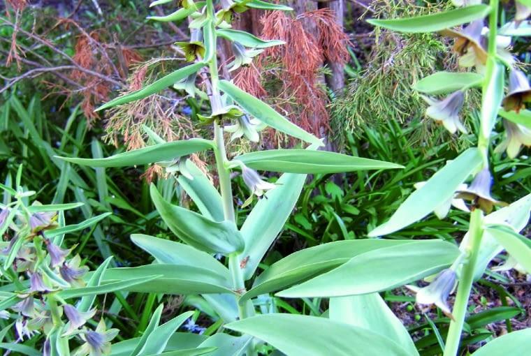 Szachownica bucharska (F. bucharica) osiąga wysokość 30 cm.