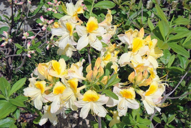 Azalia wielkokwiatowa - Rhododendron 'Toucan'