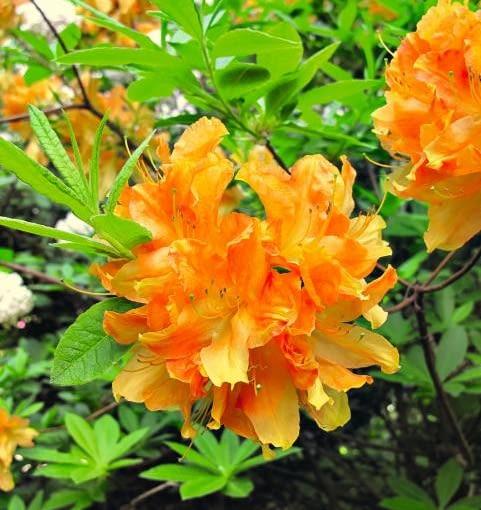 Różaneczniki. Odmiana 'Hollandia' urzeka ogromnymi kwiatami (6,5 cm średnicy). Kwitnie wcześniej niż gatunek od którego pochodzi