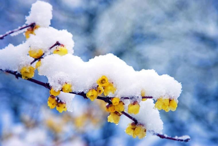 śnieg nie szkodzi kwiatom, jedynie ich płatki ściślej się stulają.
