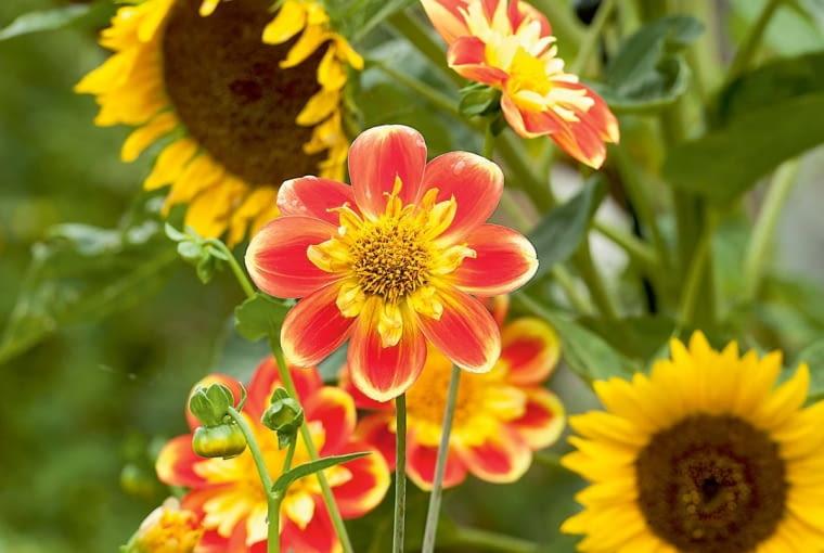 'Pooh' - dalia kołnierzykowa, wys. 90-120 cm, śr. 'kwiatu' 8 cm.