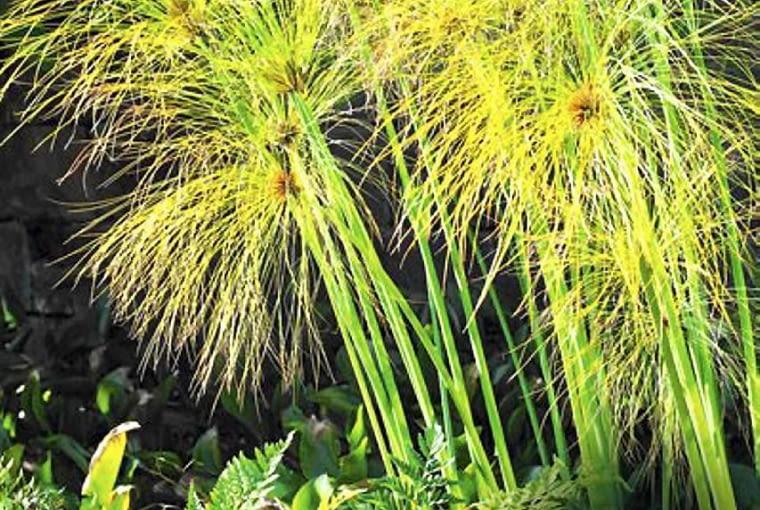 Rośliny do ciepłych ogrodów zimowych. Cibora