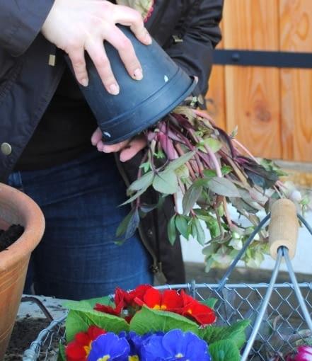Zawsze delikatnie 'wybijamy' lub 'wyciskamy' rośliny z doniczek - nigdy nie ciągniemy za część zieloną