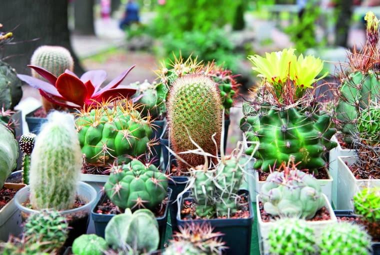 Na powierzchni zdrowych kaktusów nie występują żadne plamy inie pokrywa ich korkowy nalot, aareole iwyrastające znich ciernie tworzą regularny wzór.