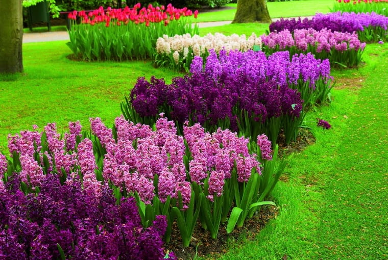 Na trawniku hiacynty rosną wbarwnych grupach, roztaczając wspaniały zapach. Niestety, przez ok. 3 tygodnie będą go szpecić żółknącymi liśćmi.