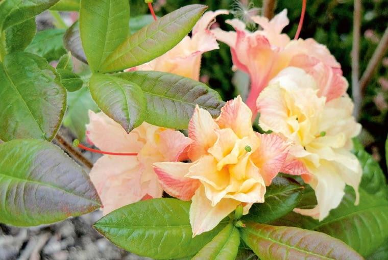 Azalia wielkokwiatowa - Rhododendron 'Cannon's Double'