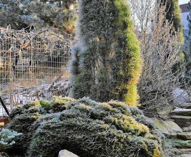 Frosted winter garden SLOWA KLUCZOWE: Frosted picea pinus frosted lawn winter garden frosty frosted plants frosted picea shrubs winter snow trees in winter frosted trees