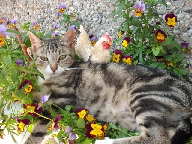 Kot na balkonie. Koty uwielbiają wylegiwać się w skrzynkach balkonowych
