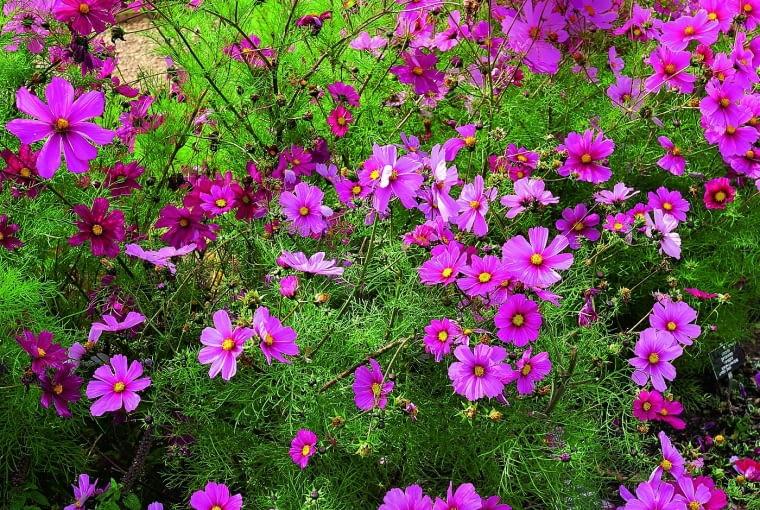 Do onętka zlatują się owady, które wżółtych środkach koszyczków znajdują pyłek inektar (tu odmiana 'Sonata Pink Blush').