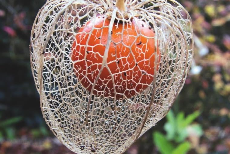 """ZIMA: Deszcz i mróz sprawiają, że miękkie części osłonki wykruszają się i zostaje jedynie misterny abażur nerwów, z """"wisienką"""", czyli owockiem w środku."""