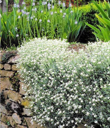 Cerastium tomentosum in stone wall SLOWA KLUCZOWE: Beete Bepflanzung Blumen Garten Hauswand Mauer Wand anpflanzen bepflanzen bl´hend einpflanzen wei? Hochformat