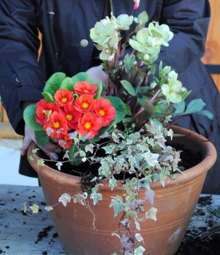 Wiosenną kompozycję można obsadzić jeszcze niskimi cebulkami kwiatowymi: podpędzonymi narcyzami 'Tete-a-Tete', błękitnymi szafirkami lub delikatnymi szachownicami. Pamiętajmy o regularnym ogławianiu kwiatów!