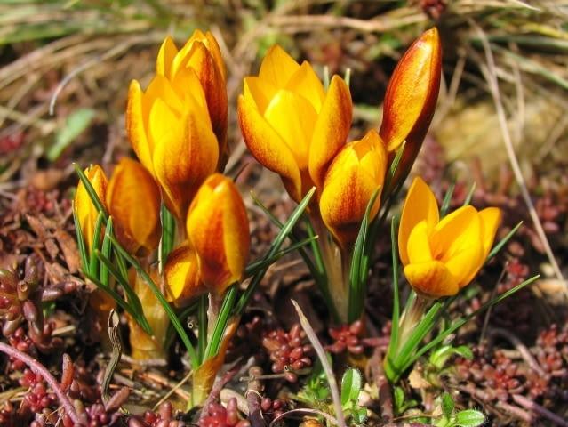 Krokus (Crocus). Kwiaty cebulowe