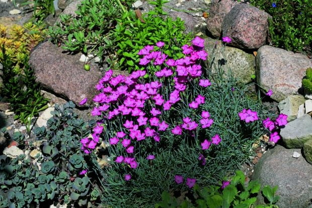 Goździk siny (Dianthus gratianopolitanus)