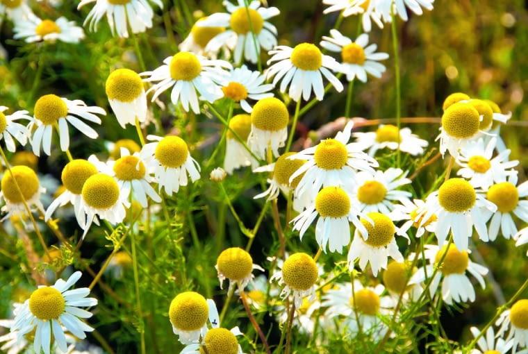 Rozwijające się koszyczki rumianku zrywamy przez całe lato w ogrodzie lub na łąkach nieskażonych chemią.