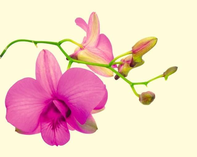 storczyki, orchidee.
