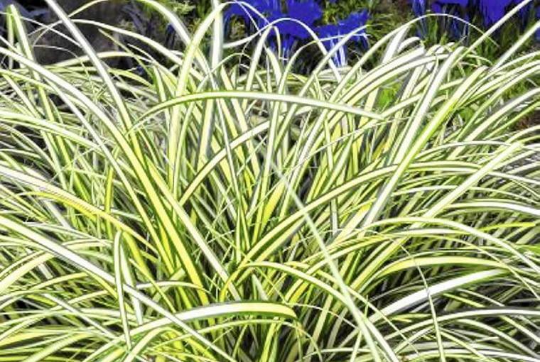 trawy ozdobne, turzyca