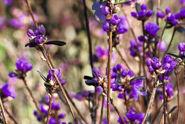 Rhododendron dauricum 'Mid-winter' SLOWA KLUCZOWE: Blume Blumen Farbe Heidekrautgew chs Heidekrautgew chse Pflanze Pflanzen Portrait Rhododendron dauricum Hochformat
