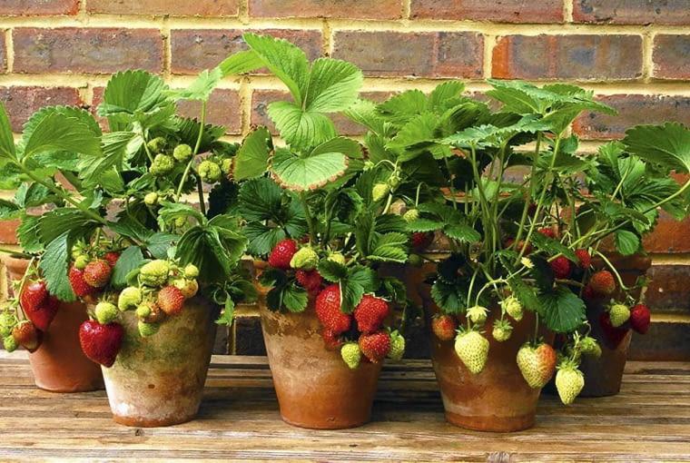 Rośliny na zabudowany balkon. Latem na osłoniętym balkonie truskawki (np. odmiana 'Fragoo') dojrzewają wcześniej niż w gruncie.