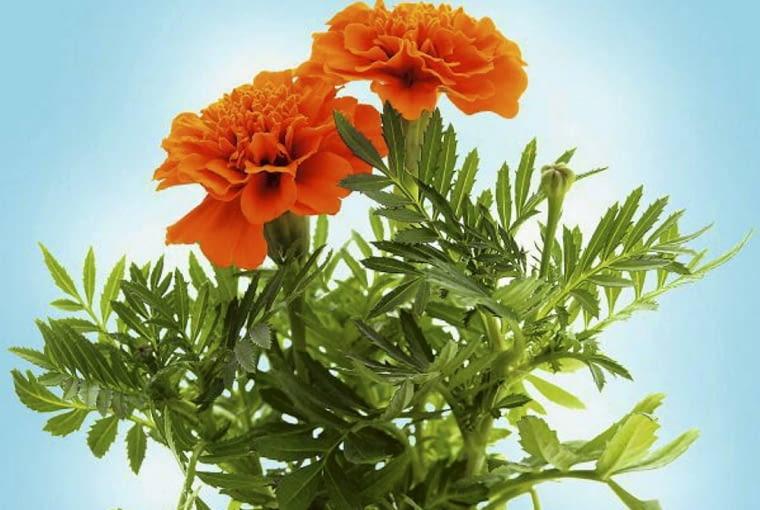 Aksamitki są roślinami jednorocznymi. Zdobią ogród od lipca do pierwszych mrozów